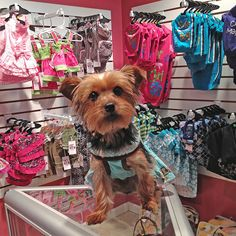 Roxy modeling one of the many dresses we carry at Foxy Roxy located in Blue Moon Gift Shops   #dogclothes #lovemydog