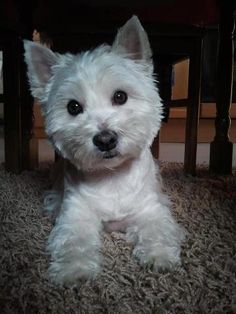 What a cutie Westie face!!