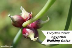 Forgotten Plants: Egyptian Walking Onion | Forgotten Plants: once prolific in the kitchen gardens of our ancestors, but now so rare that the average person might never have even heard of them. Many of these deserve to find space in our gardens again! This is the third post in the series: Egyptian Walking Onions. How can you not love a plant with such an interesting name? | TraditionalCookingSchool.com