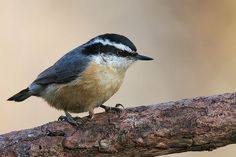 A Favorite Bird: Red-Breasted Nuthatches   The Adirondack Almanack Cute Birds, Small Birds, Little Birds, Beautiful Birds, Animals Beautiful, Cute Animals, Parus Major, List Of Birds, Bird Identification