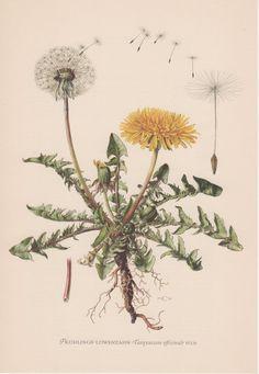 1954 Dandelion, Antique Print, Vintage Lithograph, Common Dandelion, Taraxacum officinale, Medical Herb, Löwenzahn, Flowering Plants