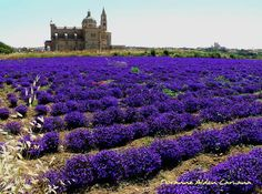 Lobelia Fields in Gozo
