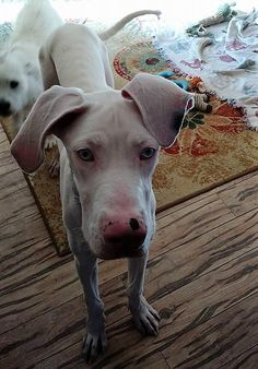 Bunny is an adoptable Great Dane searching for a forever family near Aurora, CO. Use Petfinder to find adoptable pets in your area.