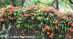 Tangerine Beauty' crossvine (Bignonia capreolata),