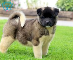 Sophie | Akita Puppy For Sale | Keystone Puppies Akita Puppies For Sale, Design Development