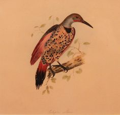 Woodpecker by Edward Lear. Hand-coloured lithograph £500