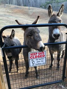 Lily Belle Hill Dropauer ~ Only Donkeys - Biscuit, Magilly and Lulu send loving heehaws to all our donkey friends❤️