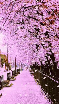 Cherry Blossom Tree Garden Kyoto Japan Spring New Ideas Very Beautiful Flowers, Beautiful Flowers Wallpapers, Beautiful Nature Wallpaper, Beautiful Gif, Beautiful Landscapes, Beautiful Gardens, Flowers Gif, Flowers Nature, Landscape Photography