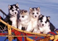 Husky Puppies (by Ravensburger) Cute Husky Puppies, Siberian Husky Puppies, Husky Puppy, Siberian Huskies, Adorable Puppies, I Love Dogs, Cute Dogs, Baby Huskies, Boxer