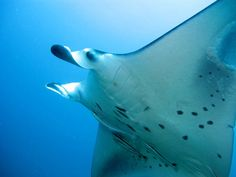 Why manta rays waving at themselves in the mirror is a big deal for science Azula, Manta Ray, Oceans Of The World, Scuba Diving, Underwater, Mirror, Photographs, Africa, Science