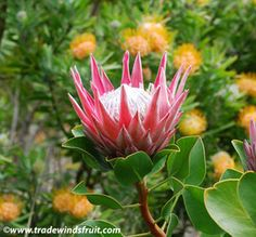 Trade Winds Fruit - Protea cynaroides - King Protea, $2.50 (http://www.tradewindsfruit.com/protea-cynaroides-king-protea-seeds/)