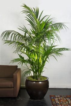 Image result for palms in pots indoors