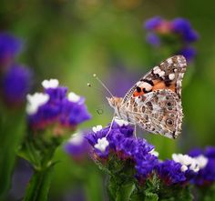 Butterfly | Sara Nikolai on Flickr