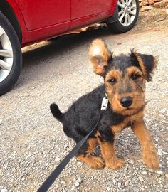 Kyffin the Welsh Terrier puppy...9 weeks