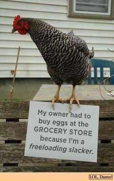 funny-pictures-chicken-shame