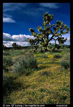 Yellow desert Marygold and Joshua Tree. Antelope Valley, California, USA (color)