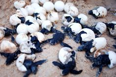 Turtles hatching at Port Barton, Palawan.