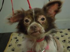 4 / 11    ***SENIOR*** Petango.com – Meet GRACIE, a 9 years 9 months Chihuahua, Long Coat available for adoption in NEW PALESTINE, IN Contact Information Address  37 1/2 W. Mill Street, NEW PALESTINE, IN, 46163  Phone  (317) 414-5662  Website  http://www.birdfrenzy.us  Email  ladyindy@comcast.net