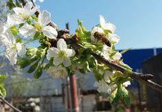 #blossoms #bee #sunny  #my📷 Blossoms, Bee, Fruit, Photos, Photography, Flowers, Honey Bees, Pictures, Photograph