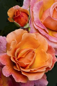 Hybrid Tea Rose 'Tahitian Sunset'