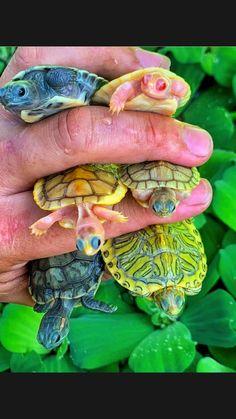 Cute Animal Memes, Cute Animal Pictures, Cute Funny Animals, Turtle Tots, Pet Turtle, Super Cute Animals, Cute Little Animals, Beautiful Creatures, Animals Beautiful