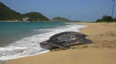 sea turtles on the beach - Google Search