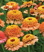 cm) Lovely bicolored extra double Scabiosa flowered light orange with cream and rose contrasting dark centers. contains 15 seeds. Flower Lights, Passion Flower, Zinnias, Light Orange, Garden Plants, Seeds, Peach, Wedding Ideas, Sunset