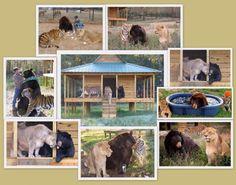 UNBELIEVABLE! NOAH'S ARK BUDDIES ~ LION, TIGER, BEAR