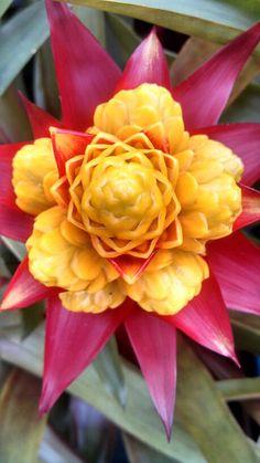 Bromélia em flor.