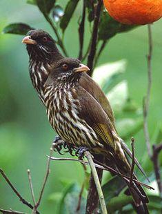 La cigua palmera (Dulus dominicus) es el ave nacional de la República Dominicana, y es el único miembro de la familia Dulidae.  Esta especie endémica habita en casi todo tipo de entorno de nuestra isla desde bosques, campos y zonas urbanas, pero es más común en lugares donde hay palmas reales.