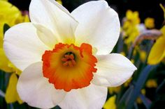 Daffodils planted at the perimeter of your gardens will keep them deer and vole free!