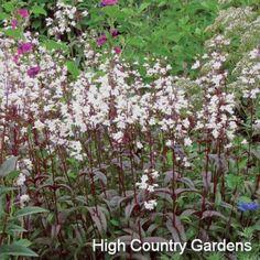 Penstemon digitalis Husker Red | Penstemon digitalis Husker Red | Low Water Plants, Eco Friendly Landscapes | High Country Gardens