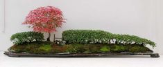 Cotoneaster hedge almost 5 feet long planted on a slate slab with a Deshojo maple and oak 'style' — just a bit of fun! Now in the collection of Peter Chan.