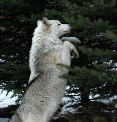 White Wolf: Wolves spur rebirth of Yellowstone ecosystems