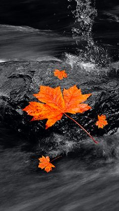 Black White Color Splash Photography Check Out This Wallpaper For Your Iphone Http Zedge