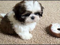 Meet My New Puppy, Junior (9 weeks old Shih Tzu) - YouTube