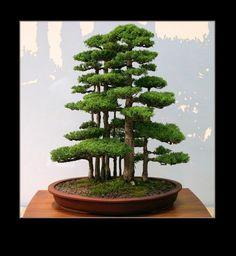 Gorgeous Bonsai Forest. I love bonsai trees. Please check out my website thanks. www.photopix.co.nz