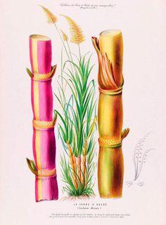 antique french botanical print sugar cane illustration digital download