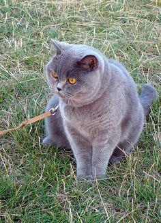 british shorthair on a leash