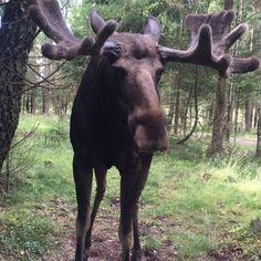 15 Best Rener Elge Og Andre Dejlige Dyr I Sverige Swedish Animals