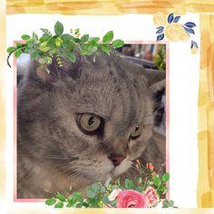 Prince Murphy  #happy #love #cat #cats #acatlikecuriosity #catsofinstagram #catoftheday #catstagram #catlove #catlady #cute #furbaby