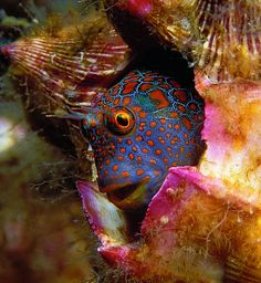 BLENNY  The Flower Garden Banks harbor heaps of surprises, like this tessellated blenny.