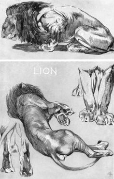 Art of Mathurin Méheut Lion Anatomy, Anatomy Drawing, Cat Drawing, Life Drawing, Drawing Sketches, Animal Anatomy, Drawing Ideas, Pencil Drawings Of Animals, Animal Sketches