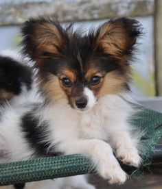 Papillon - I want one of these. They're one of the smartest dog breeds and have great temperaments. Plus look how cute they are!