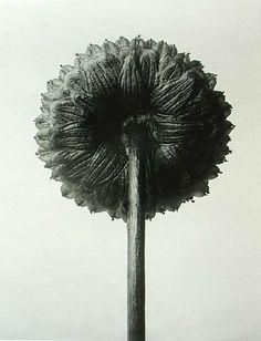 Karl Blossfeldt botanical fine art photographer - Crises et Chuchotements Karl Blossfeldt, Max Ernst, Classic Photographers, Natural Form Art, Natural Life, Flora Botanica, Organic Art, Botanical Drawings, Botanical Art