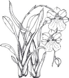 pansy coloring pages pictures imagixs