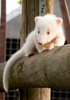 Baby albino coatie @ hamerton wildlife park rare albino animals, unusual an Amazing Animals, Unusual Animals, Animals Beautiful, List Of Animals, Animals And Pets, Primates, Mammals, Animals Crossing, Rare Albino Animals
