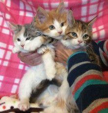 里親さんブログメインクーンミックスの子猫達 - http://iyaiya.jp/cat/archives/68643