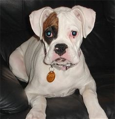 """Lucy, the white Boxer at 9 months old. """"She has a bigger personality and bigger punch then any dog I know. She's a Boxer in every sense of the word."""""""