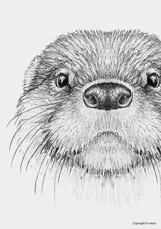 draw British Wildlife Nolon Stacey animals animal drawings British draw Nolon Stacey Wildlife draw B Pencil Art Drawings, Art Drawings Sketches, Animal Sketches, Animal Drawings, Ibrahimovic Wallpapers, British Wildlife, Otters, Art Inspo, Painting & Drawing